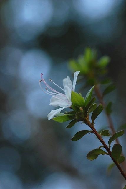 コゴメ桜2