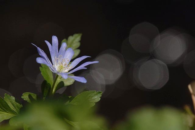 キクザキイチゲ(ブルー)