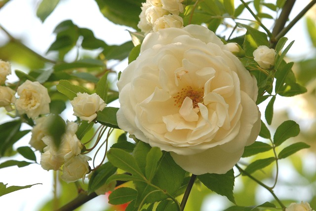 白いつるバラ1
