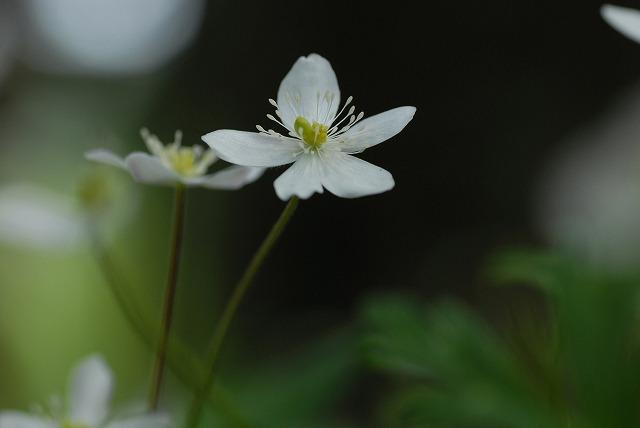 ニリン草1