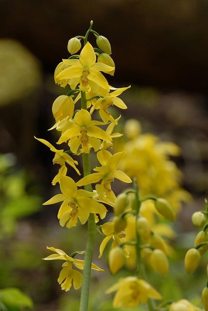 黄エビネ1