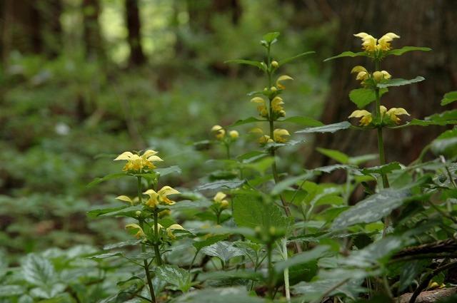 キバナオドリコ草1