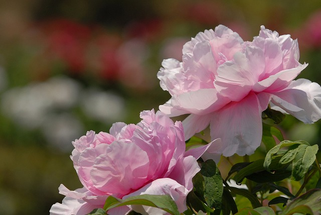 松村の桜1