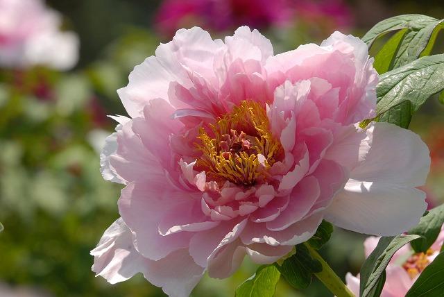 松村の桜2