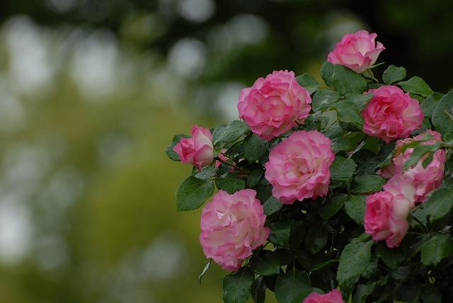 バラの咲く風景1