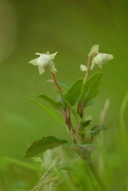 ウメガサ草3