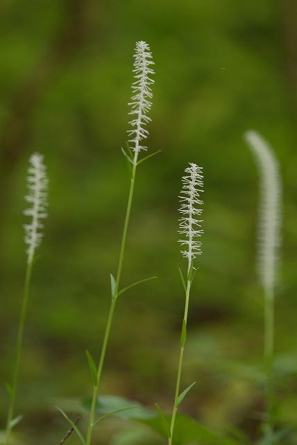 シライト草2