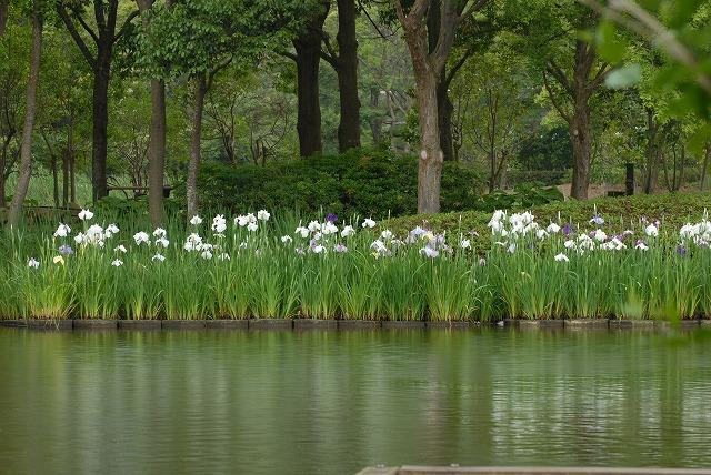 あやめ池公園17