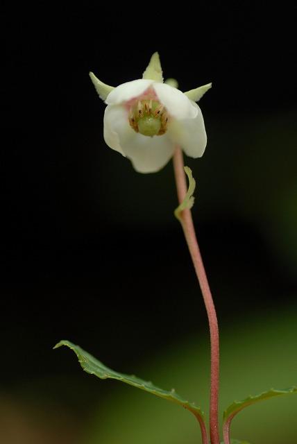 ウメガサ草2