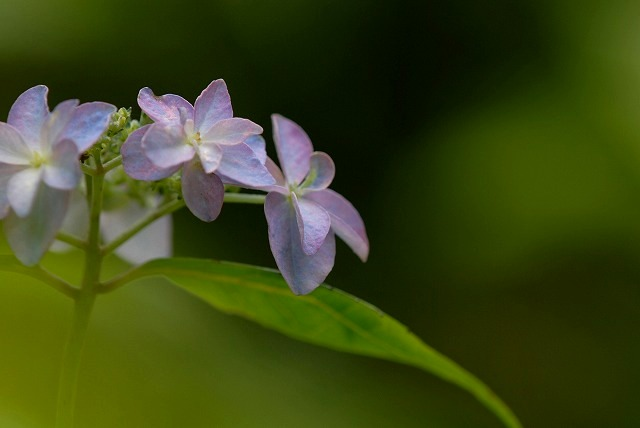 山紫陽花2