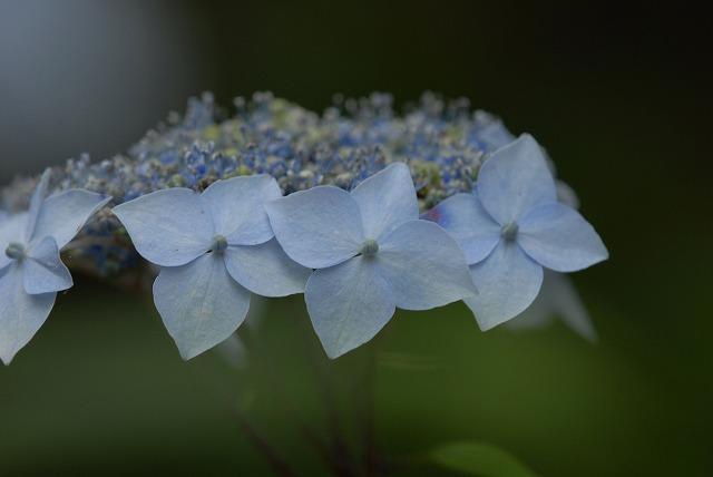 山紫陽花5