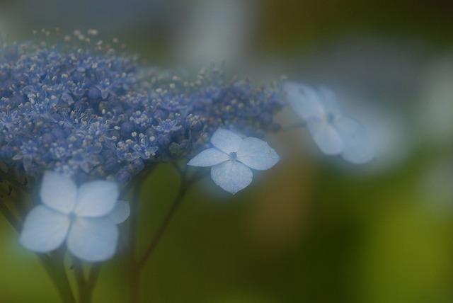 山紫陽花7