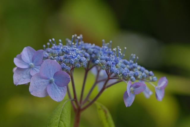 山紫陽花8