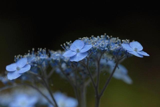 山紫陽花11