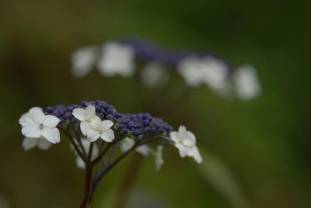 山紫陽花12
