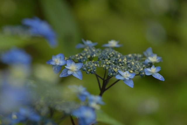 山紫陽花15