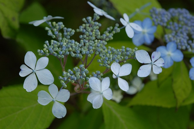 山紫陽花16
