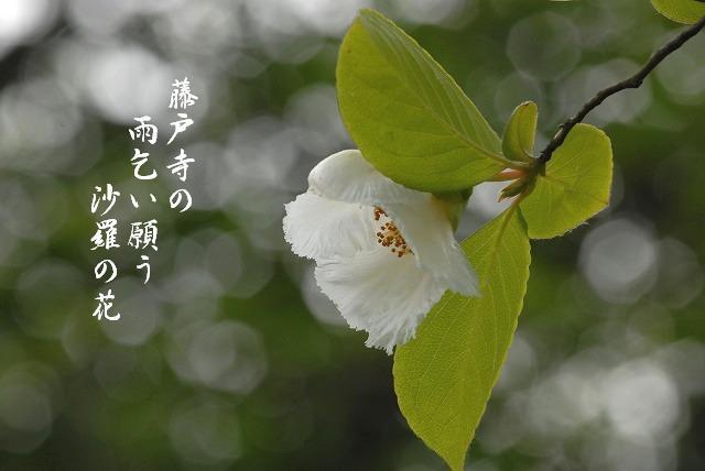 夏椿5-1