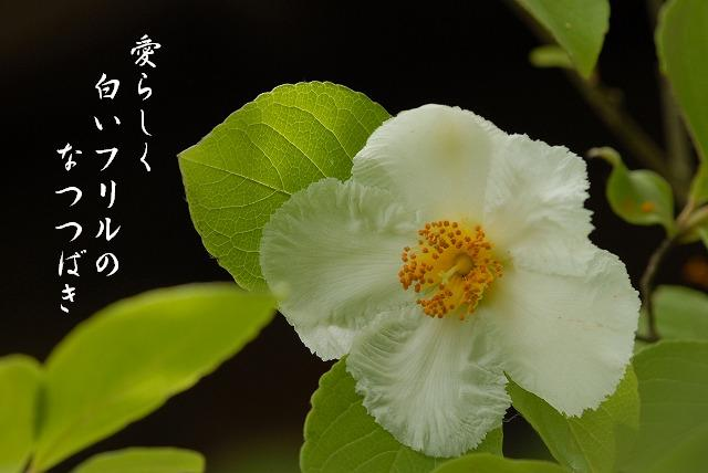 夏椿8-1
