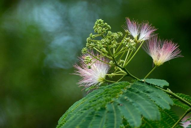合歓の花1
