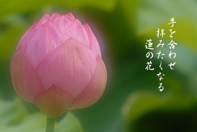 後楽園の蓮8