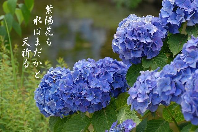 後楽園の紫陽花3