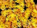 0811-103 菊の種類も豊富