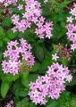 0809-81 お星様みたいな花