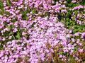 0809-107 一面ピンクの絨毯