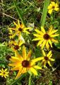 0809-111 雑草の中にルドペキア