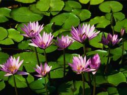 Water lilies_convert_20080728141857