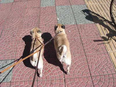 2匹揃って散歩中