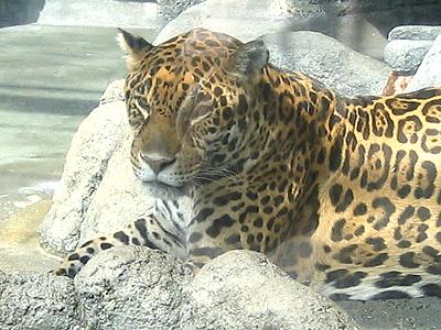 天王寺の豹