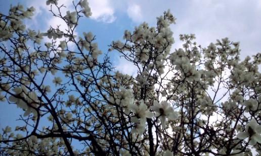 20110330123351こぶしの花2