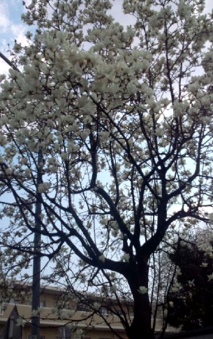 20110330123235こぶしの花