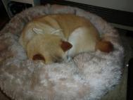 CIMG2350.冬スタイルで寝るカノンJPG