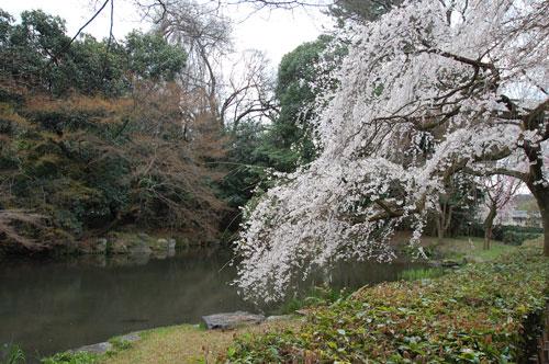 旧近衛邸跡の枝垂桜