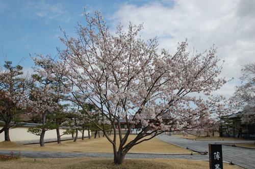 薬師寺の薄墨桜