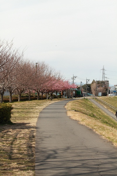 河津桜 河川敷DPP_0002