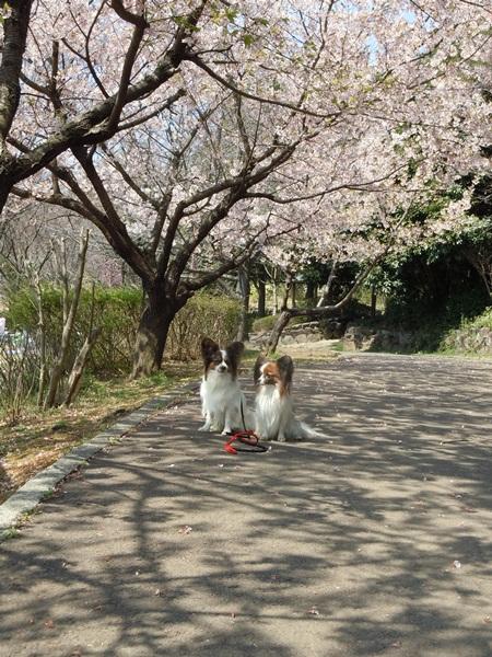 2011_03_29 玉縄さくら DSCN0903