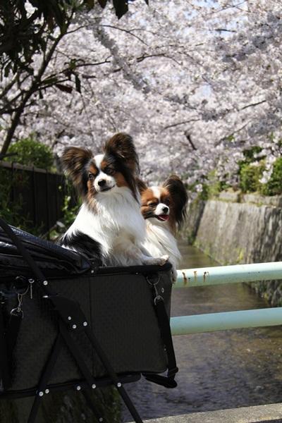 2011_4_10 京都の桜_MG_4392