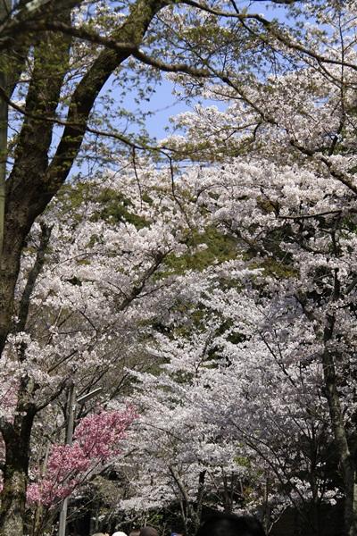 2011_4_10 京都の桜_MG_4369