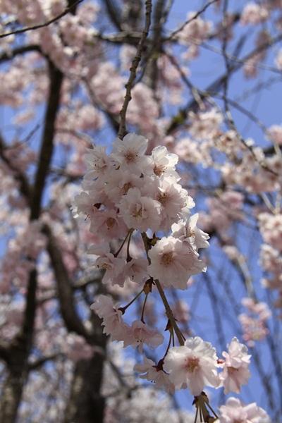 2011_4_10 京都の桜_MG_4389