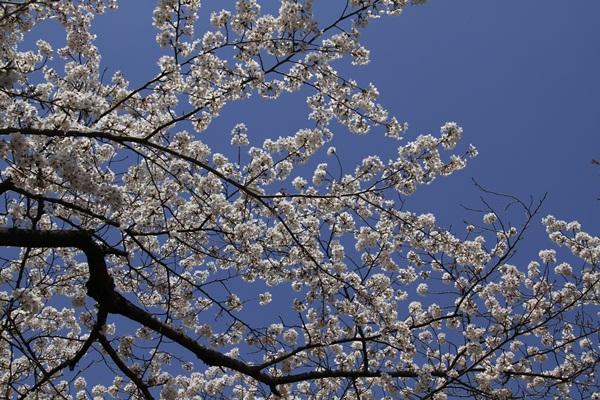 2011_4_10 京都の桜_MG_4388