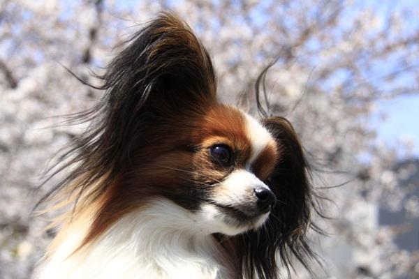 2011_4_10 京都の桜_MG_4396