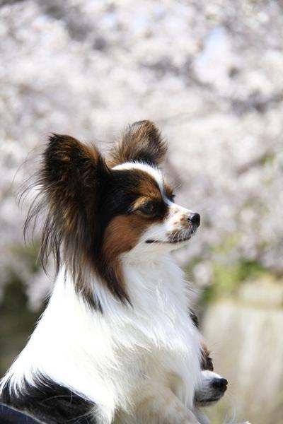 2011_4_10 京都の桜_MG_4394