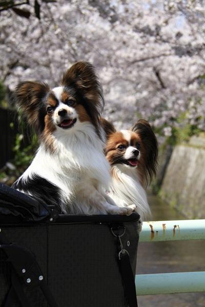 2011_4_10 京都の桜_MG_4393