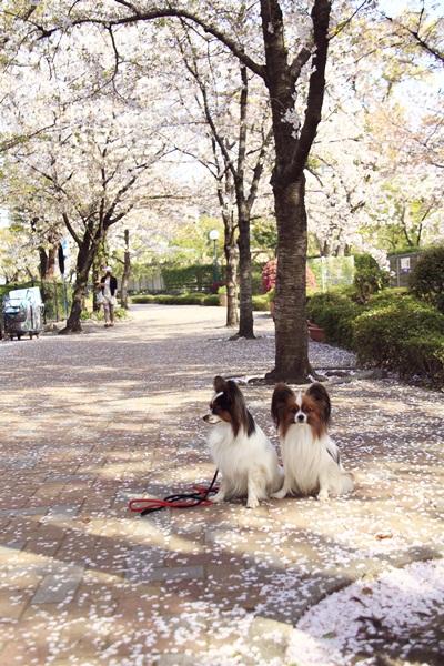 2011_04_14 宝塚ガーデンフィールズ_MG_4418