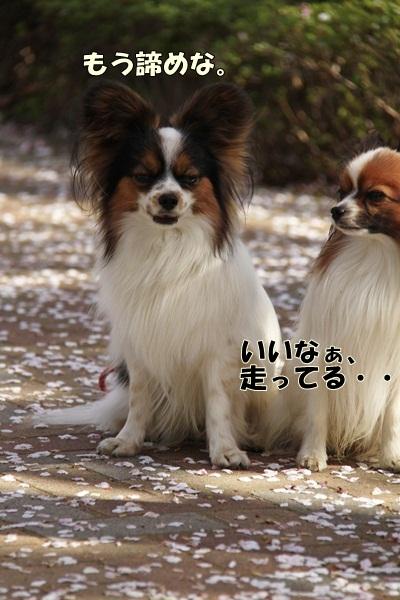 2011_04_14 宝塚ガーデンフィールズ_MG_4415