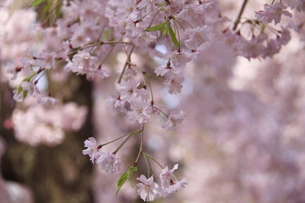 2011_04_14 宝塚ガーデンフィールズ_MG_4422